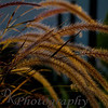 "08-06-2010 ""Back Light""  This grass was blowing in the wind and was in an area with trees that were lit at night.  You can see the light in the right bottom corner that was giving the golden glow to the grass.  I also like that the grass had green and purple.   Hope everyone has a super weekend.   Donna"